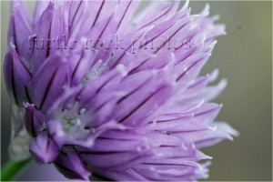 blooming chive 2