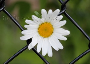 daisy in the fence