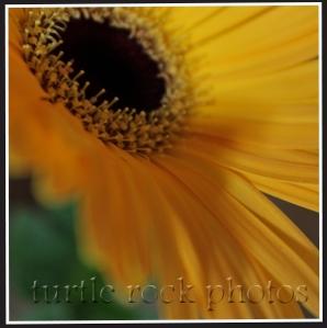 gerbera daisy2