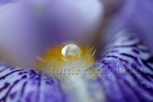 iris water droplet