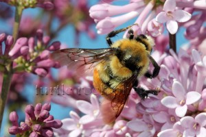 the lilac and the bee