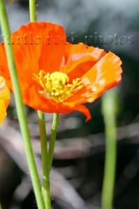 orange poppy 2