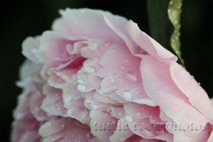 pink peony after the rain