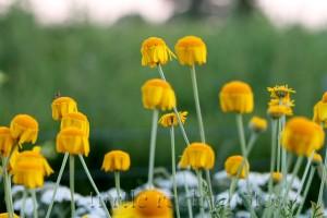 golden marguerite daisies