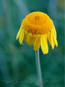 golden marguerite daisy at dusk