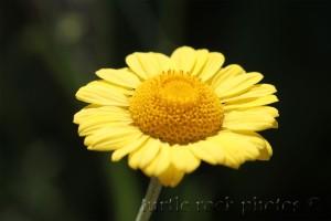 golden marguerite daisy 1