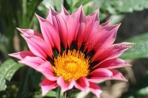 pink gazania 2