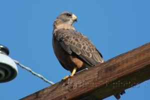prairie falcon 1