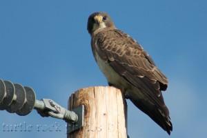 prairie falcon 2