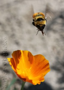 the poppy and the bee