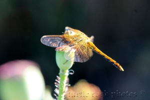 dragonfly 9
