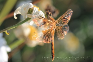 dragonfly 8