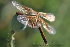 dragonfly 10