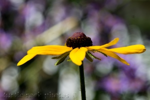brown eyed susan1