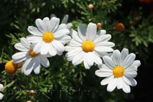 little daisies