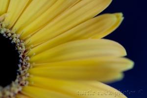 gerbera daisy 4