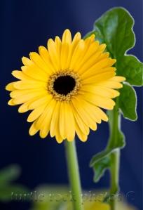 gerbera daisy 5