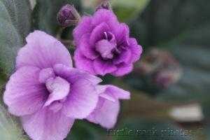 african violet 2