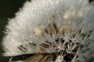 dandelion 10