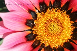 gazania up close