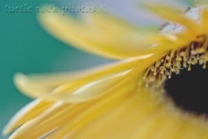 gerbera daisy 6