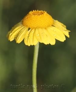 marguerite daisy 2