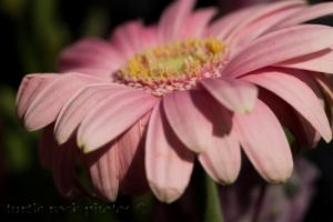 pink gerbera 2