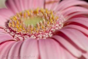 pink gerbera 3