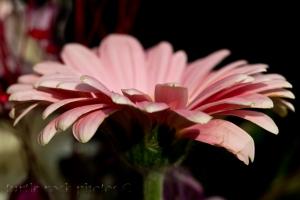 pink gerbera 4