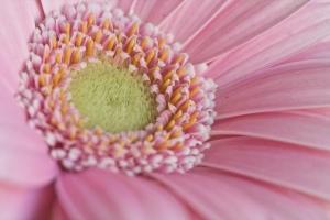 pink gerbera 5