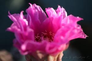 pink cactus flower1
