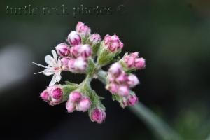 Flat-top Buckwheat2