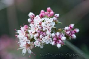 Flat-top Buckwheat5