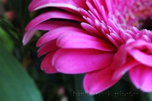 another gerbera