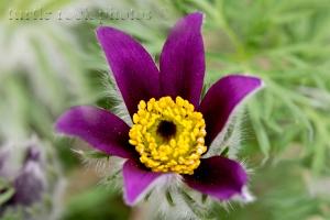 arctic violet 2