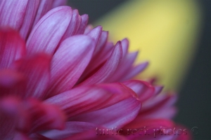 chrysanthemum1