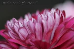 chrysanthemum2