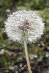 new dandelion