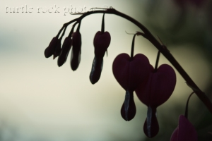 bleeding hearts in the shadows
