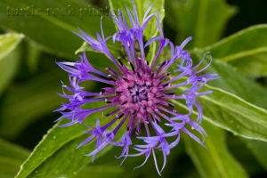 mountain blue cornflower