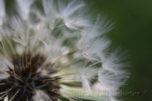 another dandelion