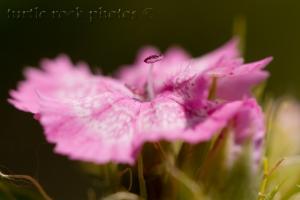 little pink flower