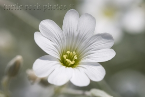 little white phlox