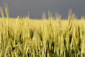 summer crops in the storm