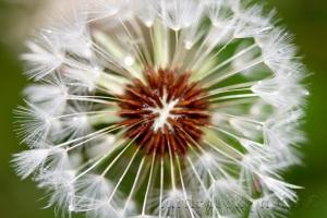 top of the dandelion