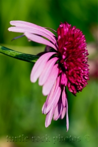 coneflower profile