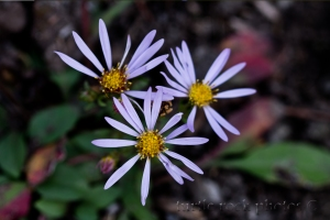 alpine aster group