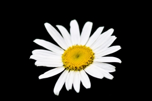 white daisy on black