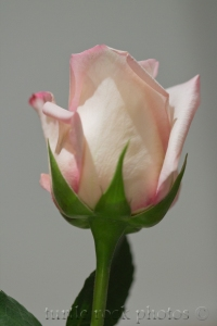 white and pink rose 2