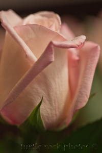 white and pink rose 3